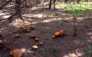 Где можно собирать маслята, как растут грибы в лесу: фото и информация для грибников