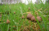 Где и когда растет гриб псилоцибе полуланцетовидная