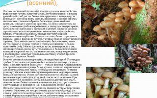 Грибы опята: фото и описание видов