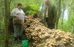Есть ли опята в туле и области: куда поехать за грибами