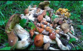 Где и как растут лисички в лесу: видео, фото грибов и советы по сбору