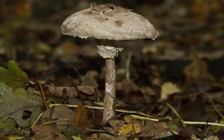 Как выглядят грибы-зонтики и как отличить их от грибов других видов