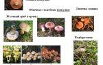 Как отличить гриб волнушку от других грибов: сходства и различия