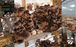 Условия и технология выращивания грибов шиитаке на даче на бревнах, в теплице и автоклаве