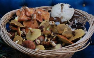 Сколько дней растут маслята после дождя: когда можно собирать грибы