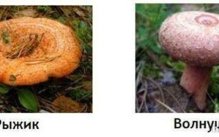 Отличия грибов рыжиков от волнушек, поганок и боровиков