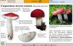 Несъедобные сыроежки: фото и описание жгуче-едкой (рвотной), березовой и кроваво-красной сыроежек