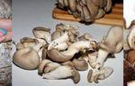Как хранить грибы вешенки в холодильнике и морозилке на зиму: условия хранения вешенок