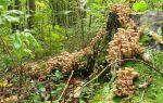Где лучше искать грибы опята в лесу: места сбора на территории россии
