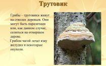 Фото и описание гриба трутовика