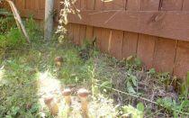 Как вырастить лесные грибы на садовом участке: посадка и разведение грибов на даче