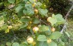 Варенье из яблок белый налив на зиму — 5 простых рецептов с фото пошагово