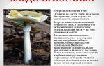 Гриб бледная поганка: как выглядит на фото, как отличить ядовитый гриб, отравление