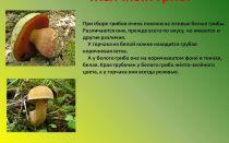 Желчный гриб (горчак): фото, описание; как отличить желчный гриб