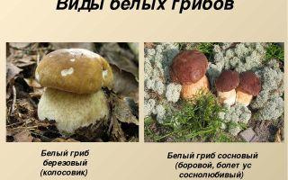 Белые грибы: фото, описание видов и разновидностей (березовый, сосновый) и другие названия белого гриба