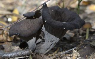 Гриб вороночник рожковидный (кратереллус воронковидный, серый): фото и описание