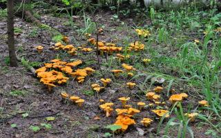 Сезон сбора лисичек: где растут и когда лучше собирать грибы в средней полосе