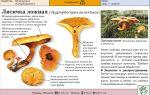 Грибы лисички: фото, описание и применение лисичек, как отличить ложные грибы от обыкновенных