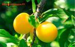 Маринованная алыча как оливки на зиму — очень вкусный рецепт с пошаговыми фото