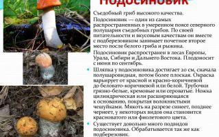 Где растет гриб подосиновик: фото и описание видов подосиновика (обыкновенного, дубового, желто-бурого)