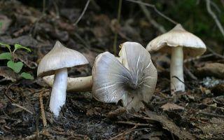 Ядовитая заостренная или полосатая (тricholoma virgatum): фото и как отличить от съедобных грибов
