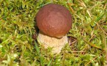Условия и скорость роста белых грибов: где и как растут боровики