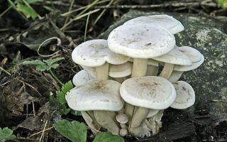 Сросшаяся рядовка (lyophyllum connatum): ядовит или съедобен гриб, способы приготовления