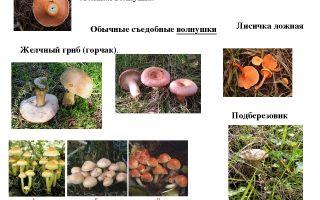 Бывают ли грибы ложные волнушки: фото, описание и как их отличить от съедобных грибов
