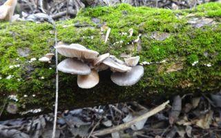 Сбор вешенок в лесу: время сбора грибов в лесу