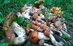 Когда растут маслята: сезон сбора грибов в московской области