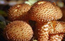 Съедобный гриб чешуйчатка: фото и описание видов чешуйчатки (обыкновенная, золотистая и боровая)