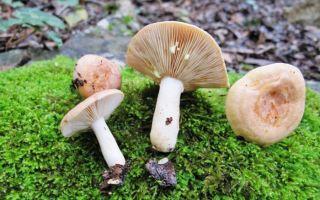 Несъедобные грузди (млечники): фото золотисто-желтого и серо-розового (янтарного) груздей