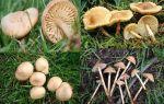 Скрипница — все о грибах