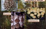 Какие ядовитые грибы похожи на вешенки: фото, как отличить вешенки от ядовитых грибов