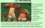 Гриб дубовик: фото и описание видов съедобных грибов дубовик обыкновенный и дубовик крапчатый
