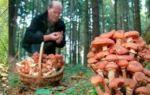 Когда собирают опята на урале: фото осенних и зимних грибов, сезон сбора