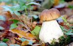 – что делать с белыми свежими грибами после сбора: на зиму и для текущего потребления