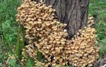 Где растут опята в тюмени: фото, где собирать грибы