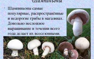 Описание видов грибов шампиньонов, фото полевых, обыкновенных, двукольцевых и других видов шампиньонов
