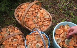 Где собирать рыжики в самарской области: фото, где растут грибы и когда их собирать