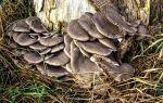 Гриб вешенка обыкновенная в лесу: фото и описание, где растут грибы вешенки