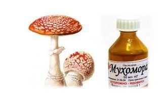 Мухомор красный: лечебные свойства гриба и применение в народной медицине для лечения заболеваний