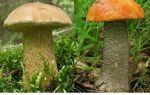 Как выглядят ложные подосиновики: фото, отличия от других грибов
