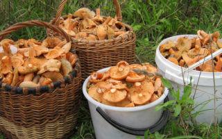 Где растут рыжики в удмуртии и когда собирать грибы