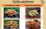 Опята летние: фото и описание съедобных грибов, их опасные двойники