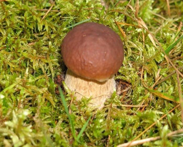 Сколько времени растёт белый гриб — Ягоды грибы