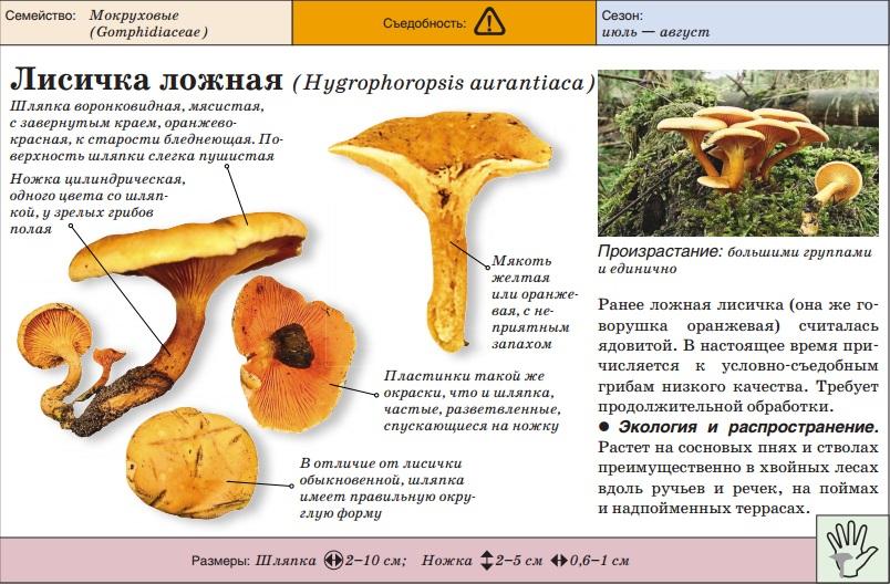 Грибы лисички картинки описание
