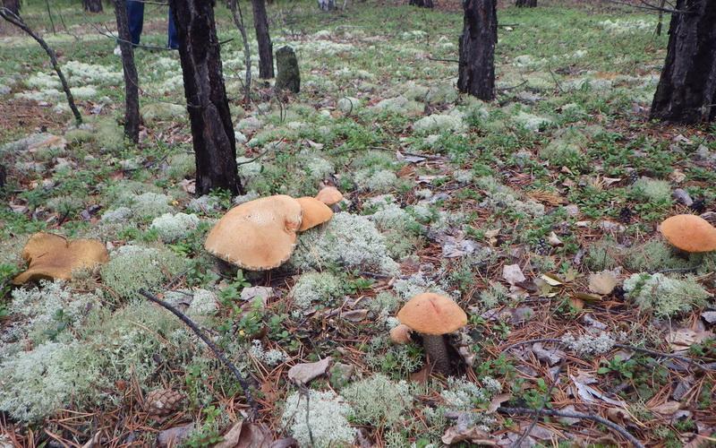 Как растут белые грибы фото