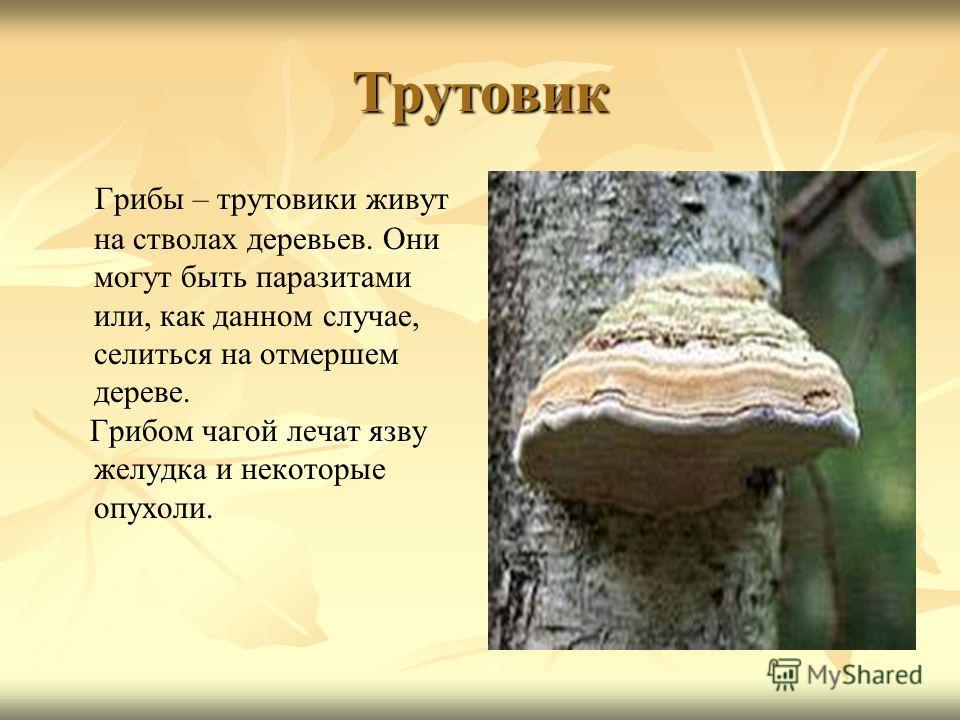 гриб трутовик фото и описание съедобный захода были