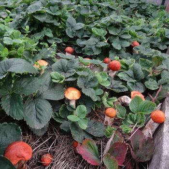 Способы, посадить лесные грибы на дачном участке и собрать урожай